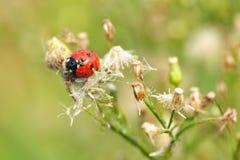 Lady beetle Stock Image