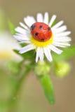 Lady beetle Stock Photos
