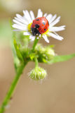Lady beetle Royalty Free Stock Image