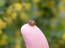 Lady beetle on a man's finger. A small harlequin lady beetle (Harmonia axyridis) sits on a man's thumb, preparing to fly royalty free stock photos