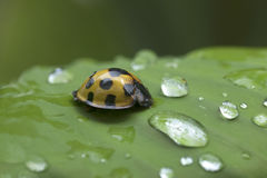 Lady Beetle in Thailand and Southeast Asia. Stock Image