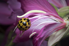 Lady Beetle in Thailand and Southeast Asia. Royalty Free Stock Photography