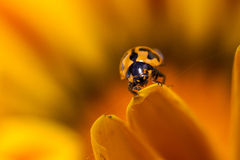 Lady Beetle. Stock Photography