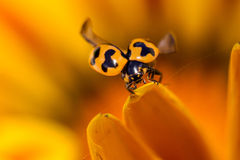 Lady Beetle. Lady Beetle on top of a flower petal about to fly Stock Image