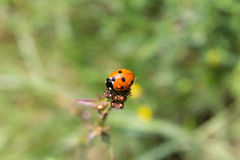 Lady beetle on top of a stem Royalty Free Stock Image