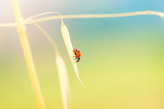 Lady beetle on the wheat stem Stock Image