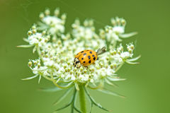 Lady beetle on a wild carrot Royalty Free Stock Images