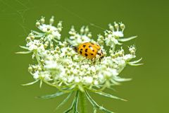 Lady beetle on a wild carrot Stock Image