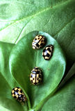 Lady beetles Stock Photography