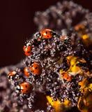 Lady beetles Stock Image