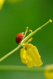 Lady beetles and flowers Stock Photo