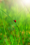 Lady bird Royalty Free Stock Photo