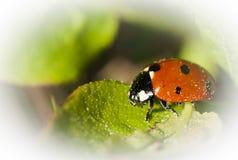 Lady bird. A lady bird alt lady bug stock photos