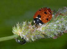 Lady bird beetle. On grass in morning dew royalty free stock image