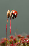 Lady-bird beetle climb down Stock Images