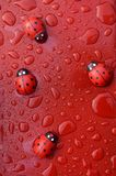 Lady bird bugs with wet water on red surfaces. Lady bird bugs wet water red surfaces liquid dew royalty free stock photos