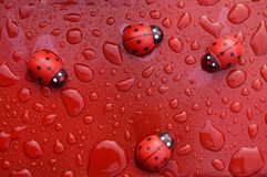 Lady bird bugs with wet water on red surfaces. Lady bird bugs wet water red surfaces liquid dew close royalty free stock images