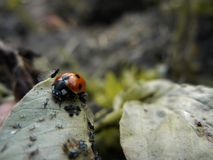 Lady Bird feeding aphid in Vicia faba bean leaf stock photography