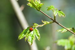 Lady bird on green leaf. Nature background royalty free stock photo