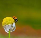 Lady bird. Ladybird on fallen down camomile Stock Photo