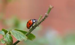 Lady bird on twig Stock Photography