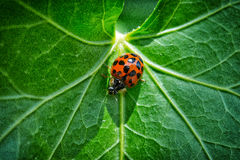 Lady bird on very green leaf. Close up of small lady bug Royalty Free Stock Images