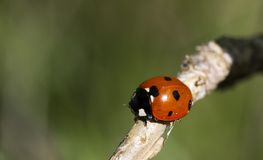 Lady bird Stock Photography