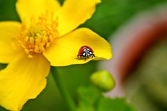 Lady Bird on yellow bloom. Close up of a Lady Bird sitting on a yellow bloom stock photography