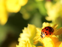 Lady Bird. On a yellow flower royalty free stock image