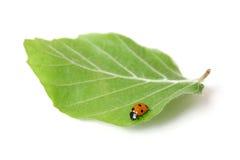 Lady bug Royalty Free Stock Photo