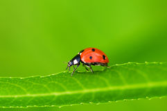 Lady bug Stock Photo