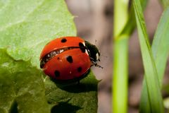 Lady bug Stock Photography