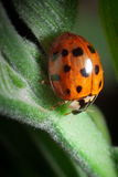 Lady bug. Close up photography from a red lady bug royalty free stock image