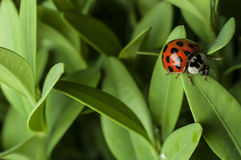 Lady Bug. On green leaves Stock Images