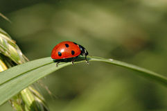 Free Lady Bug Stock Photo - 336680
