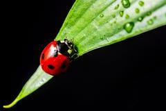 Free Lady Bug Stock Photography - 39110652