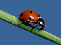 Lady bug. This picture of this ladybug is taken againt the blue sky Stock Photography