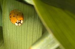 Lady bug. On hemerocalis Stock Image