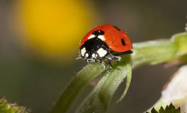Free Lady Bug Stock Photo - 65706450