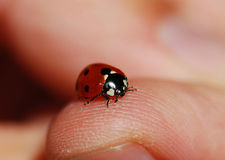 Lady Bug. Closeup of Lady bug on thumb with blurred background royalty free stock photo
