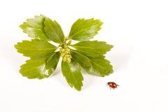 Lady bug advancing towards plant Royalty Free Stock Image