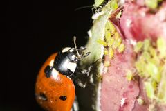Lady bug attacking aphids. Closeup of lady bug attacking aphids Stock Photos