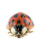 Lady bug beetle. Ladybug Asian beetle (Harmonia axyridis Royalty Free Stock Image