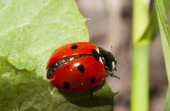 Lady bug. A lady bug or bird getting started Royalty Free Stock Photography