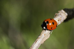 Lady bug. Bird on a stick royalty free stock photo