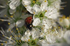 Lady Bug on the blossomed tree - still life Stock Photography