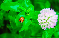 Lady bug and blossoming clover Stock Photography