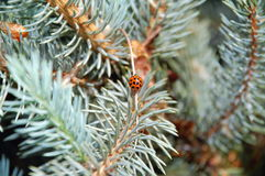 Lady bug on blue spruce Royalty Free Stock Photo