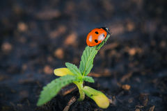 Lady bug on cannabis plant royalty free stock image