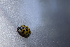 Lady Bug. A lady bug catching a ride on the side of the car Stock Photography